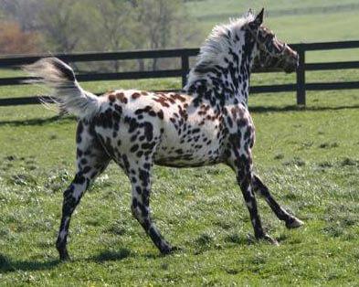 Arcadia de Bec, Scarlett's Foal