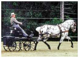 Stonewall Sporthorse Champion Stonewall Blanche