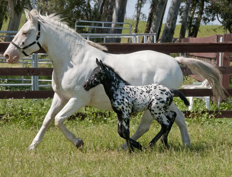 Fanny and Samba, Scarlett's foal