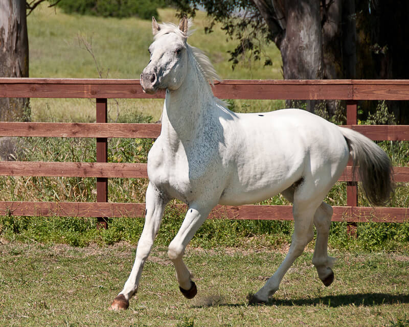 Magique de Bec, Scarlett's foal