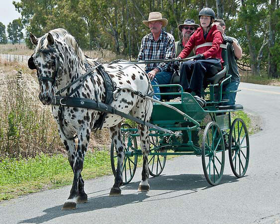 Scarlett-Equine Facilitated Therapy (Driving)